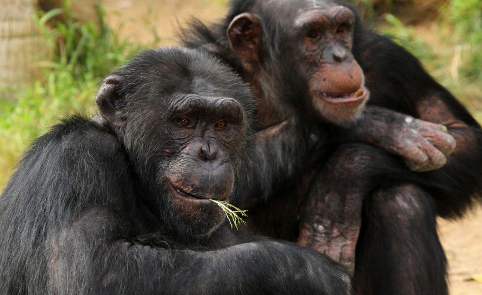 chimps-dreamstime_xl_22471679